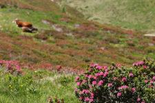 Alpenrosenblüte am Penser Joch