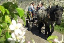 Fioritura dei meli in Val Venosta