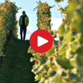Grape harvest in South Tyrol